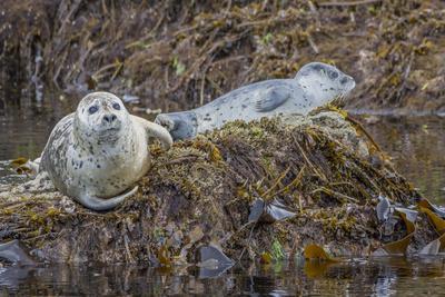 https://imgc.allpostersimages.com/img/posters/usa-alaska-katmai-national-park-harbor-seal-resting-on-seaweed_u-L-Q1D09P30.jpg?p=0