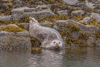 https://imgc.allpostersimages.com/img/posters/usa-alaska-katmai-national-park-kukak-bay-harbor-seal_u-L-Q1CZZW20.jpg?p=0