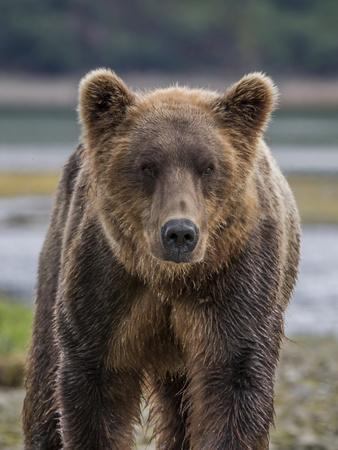 https://imgc.allpostersimages.com/img/posters/usa-alaska-katmai-national-park-of-grizzly-bear_u-L-Q1D04M20.jpg?p=0