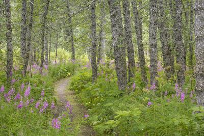 https://imgc.allpostersimages.com/img/posters/usa-alaska-kenai-peninsula-trail-through-birch-forest-and-fireweed_u-L-Q1D0KEX0.jpg?p=0
