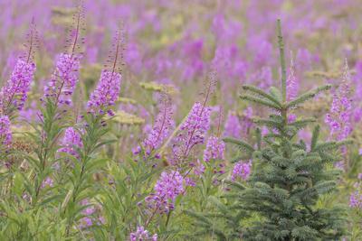 https://imgc.allpostersimages.com/img/posters/usa-alaska-kenai-peninsula-valdez-spruce-sapling-and-fireweed-flowers_u-L-Q1CZZY50.jpg?p=0