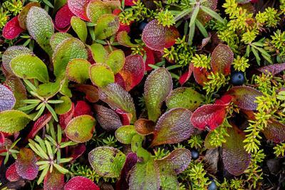 https://imgc.allpostersimages.com/img/posters/usa-alaska-of-alpine-bearberry-and-crowberry-plants_u-L-Q1CZXY20.jpg?p=0