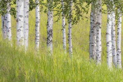 https://imgc.allpostersimages.com/img/posters/usa-alaska-paper-birch-trees-and-grass_u-L-Q1D0LM80.jpg?p=0