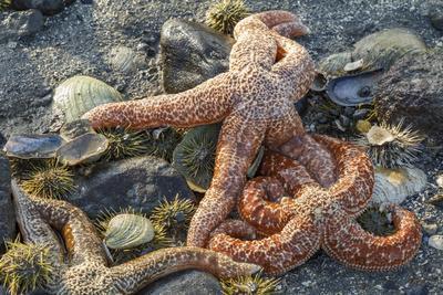 https://imgc.allpostersimages.com/img/posters/usa-alaska-sea-stars-and-sea-urchins-on-the-beach-at-low-tide_u-L-Q1CZV0D0.jpg?p=0