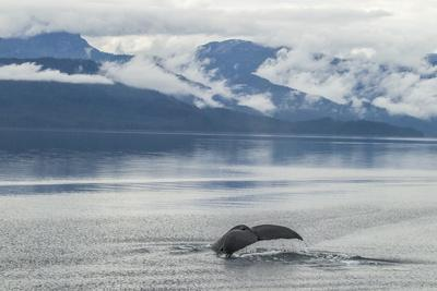 https://imgc.allpostersimages.com/img/posters/usa-alaska-tongass-national-forest-humpback-whale-diving_u-L-Q1CZYYJ0.jpg?p=0