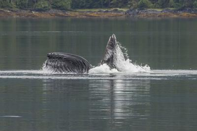 https://imgc.allpostersimages.com/img/posters/usa-alaska-tongass-national-forest-humpback-whale-lunge-feeds_u-L-Q1CZUW00.jpg?p=0