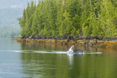 https://imgc.allpostersimages.com/img/posters/usa-alaska-tongass-national-forest-humpback-whale-lunge-feeds_u-L-Q1CZWDS0.jpg?p=0