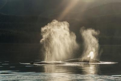 https://imgc.allpostersimages.com/img/posters/usa-alaska-tongass-national-forest-humpback-whales-spout-on-surface_u-L-Q1D0D830.jpg?p=0