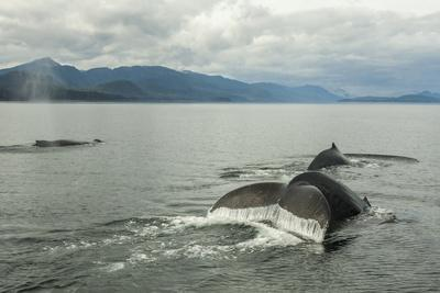 https://imgc.allpostersimages.com/img/posters/usa-alaska-tongass-national-forest-humpback-whales-surfacing-diving_u-L-Q1CZT880.jpg?p=0