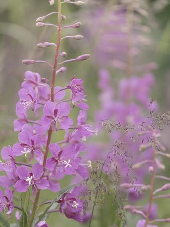 https://imgc.allpostersimages.com/img/posters/usa-alaska-valdez-of-fireweed-flowers_u-L-Q1D0KLK0.jpg?p=0