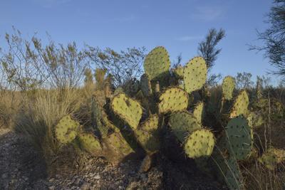 https://imgc.allpostersimages.com/img/posters/usa-arizona-dead-horse-ranch-state-park-beavertail-cactus_u-L-Q1D0J9B0.jpg?p=0