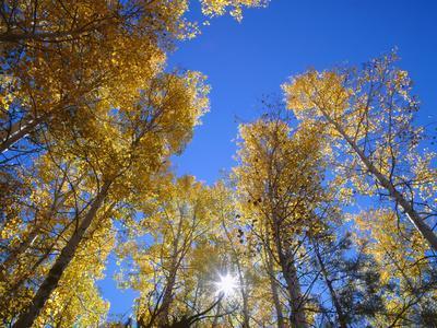 https://imgc.allpostersimages.com/img/posters/usa-arizona-grand-canyon-national-park-sun-bursts-through-autumn-colored-grove-of-quaking-aspen_u-L-Q12TAO30.jpg?p=0