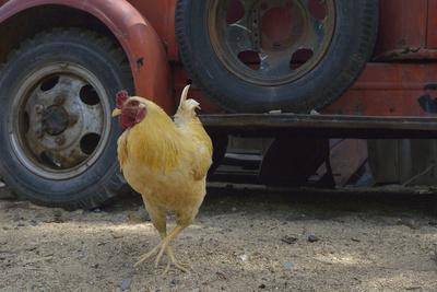 https://imgc.allpostersimages.com/img/posters/usa-arizona-jerome-chicken-walking-the-streets_u-L-Q1D0L0V0.jpg?artPerspective=n
