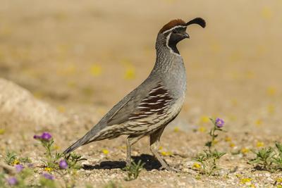 https://imgc.allpostersimages.com/img/posters/usa-arizona-sonoran-desert-male-gambel-s-quail_u-L-Q1CZXXD0.jpg?p=0
