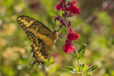 https://imgc.allpostersimages.com/img/posters/usa-arizona-sonoran-desert-swallow-tailed-butterfly-on-penstemon-flower_u-L-Q1CZYL70.jpg?p=0