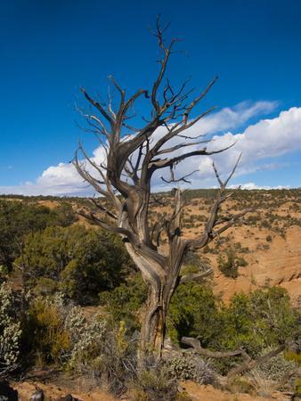 https://imgc.allpostersimages.com/img/posters/usa-arizona-tsegi-navajo-national-monument-gnarled-tree-on-sandal-trail_u-L-Q1CZU210.jpg?p=0