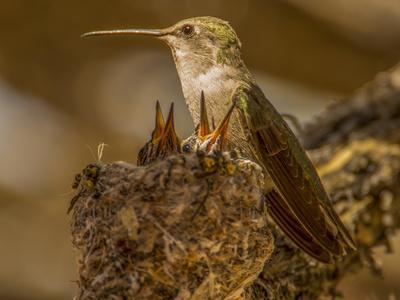 https://imgc.allpostersimages.com/img/posters/usa-arizona-tucson-humming-bird-nest_u-L-Q1CZSHN0.jpg?p=0