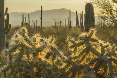 https://imgc.allpostersimages.com/img/posters/usa-arizona-tucson-mountain-park-backlit-cholla-cactus-in-sonoran-desert_u-L-Q1D03260.jpg?artPerspective=n