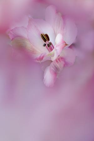https://imgc.allpostersimages.com/img/posters/usa-california-alstroemeria-flower-close-up_u-L-Q1D0GDO0.jpg?p=0