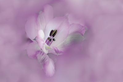 https://imgc.allpostersimages.com/img/posters/usa-california-alstroemeria-flower-close-up_u-L-Q1D0JQU0.jpg?artPerspective=n