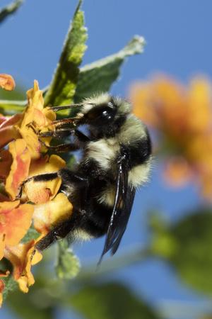 https://imgc.allpostersimages.com/img/posters/usa-california-bumble-bee-feeding-on-flower_u-L-Q1D083D0.jpg?p=0