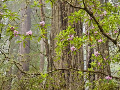 https://imgc.allpostersimages.com/img/posters/usa-california-del-norte-coast-redwoods-state-park-blooming-rhododendrons-in-fog-with-redwoods_u-L-Q12T38W0.jpg?p=0