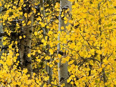 https://imgc.allpostersimages.com/img/posters/usa-california-eastern-sierra-aspen-trees-during-autumn-in-lundy-canyon_u-L-Q12T3SG0.jpg?artPerspective=n