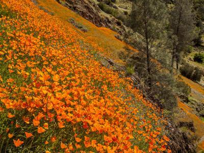 https://imgc.allpostersimages.com/img/posters/usa-california-el-portal-california-poppies-along-hite-cove-trail-near-yosemite-national-park_u-L-Q12T3R30.jpg?p=0