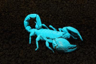 https://imgc.allpostersimages.com/img/posters/usa-california-emperor-scorpion-under-black-light_u-L-Q1CZZ1X0.jpg?p=0