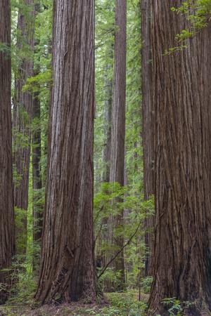https://imgc.allpostersimages.com/img/posters/usa-california-humboldt-redwoods-state-park-redwood-tree-scenic_u-L-Q1D0A9H0.jpg?p=0