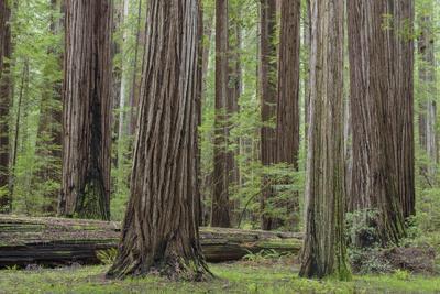 https://imgc.allpostersimages.com/img/posters/usa-california-humboldt-redwoods-state-park-redwood-tree-scenic_u-L-Q1D0AYH0.jpg?p=0