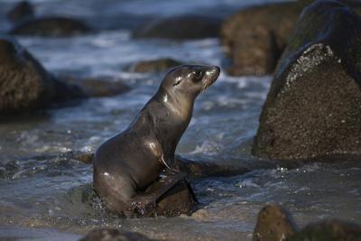 https://imgc.allpostersimages.com/img/posters/usa-california-la-jolla-baby-sea-lion-on-beach-rock_u-L-Q1D01EL0.jpg?p=0