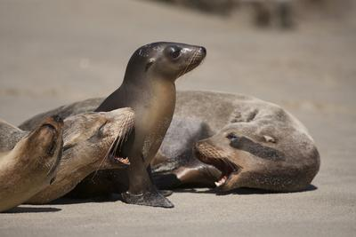 https://imgc.allpostersimages.com/img/posters/usa-california-la-jolla-baby-sea-lion-with-s-on-beach_u-L-Q1D04W90.jpg?p=0