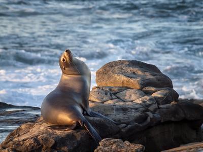 https://imgc.allpostersimages.com/img/posters/usa-california-la-jolla-sea-lion-at-la-jolla-cove_u-L-Q1D08F60.jpg?p=0
