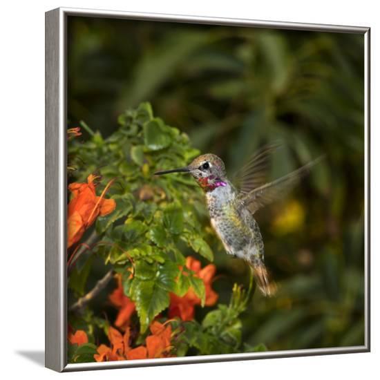 USA, California. Male Anna's hummingbird flying.-Jaynes Gallery-Framed Photographic Print
