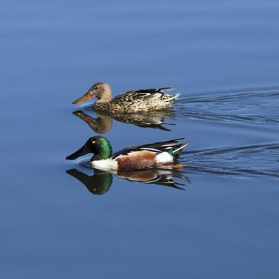 https://imgc.allpostersimages.com/img/posters/usa-california-mated-pair-of-ring-necked-ducks-swimming_u-L-Q1D0JHS0.jpg?p=0
