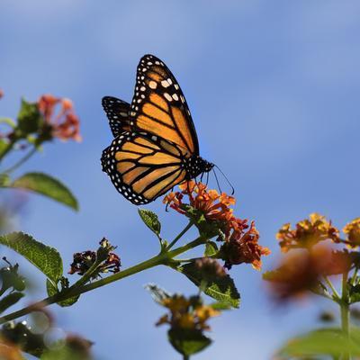 https://imgc.allpostersimages.com/img/posters/usa-california-monarch-butterfly-on-lantana-flower_u-L-Q1D0JK50.jpg?p=0