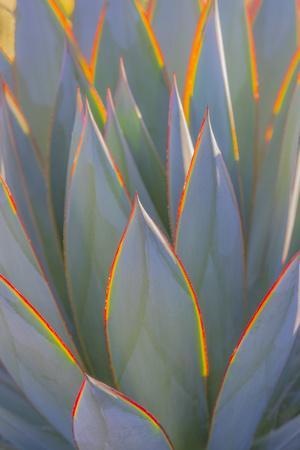 https://imgc.allpostersimages.com/img/posters/usa-california-morro-bay-backlit-agave-leaves_u-L-Q1D0BNW0.jpg?p=0