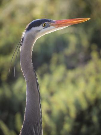 https://imgc.allpostersimages.com/img/posters/usa-california-morro-bay-state-park-great-blue-heron-close-up_u-L-Q1D0KN50.jpg?p=0