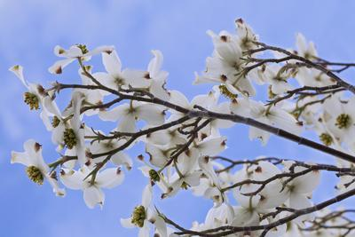 https://imgc.allpostersimages.com/img/posters/usa-california-owens-valley-blooming-dogwood-tree_u-L-Q1D0GXX0.jpg?p=0
