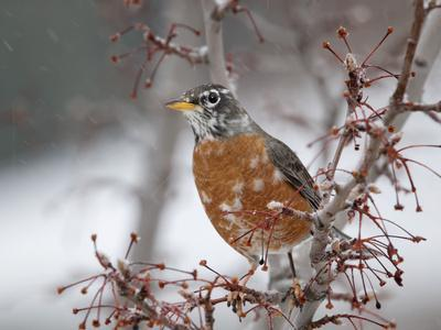 https://imgc.allpostersimages.com/img/posters/usa-california-owens-valley-robin-on-pear-tree_u-L-Q1D0BXB0.jpg?p=0