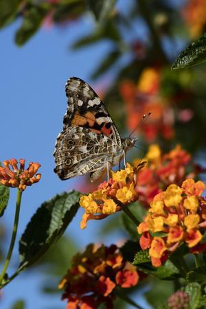 https://imgc.allpostersimages.com/img/posters/usa-california-painted-lady-butterfly-on-lantana-flowers_u-L-Q1CZUOG0.jpg?p=0