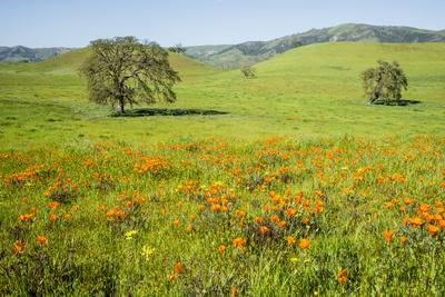 https://imgc.allpostersimages.com/img/posters/usa-california-pinnacle-national-park-california-poppies_u-L-Q1CZRX20.jpg?p=0