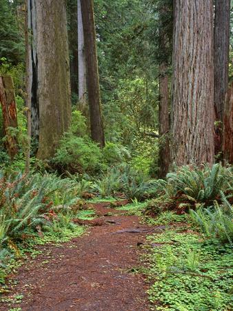 https://imgc.allpostersimages.com/img/posters/usa-california-prairie-creek-redwoods-state-park-trail-leads-through-redwood-forest-in-spring_u-L-Q12T75N0.jpg?p=0