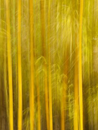 https://imgc.allpostersimages.com/img/posters/usa-california-san-diego-bamboo-trees-blurred-with-camera_u-L-Q12SZIK0.jpg?p=0