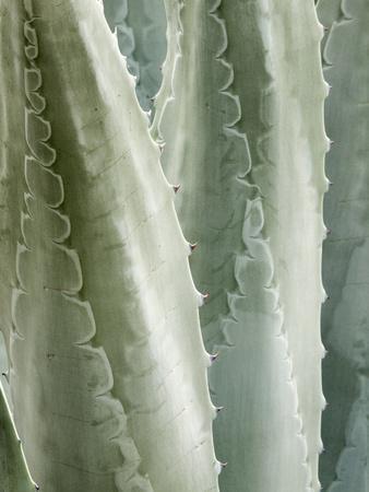https://imgc.allpostersimages.com/img/posters/usa-california-san-diego-close-up-of-agave-americana_u-L-Q12SZJL0.jpg?p=0