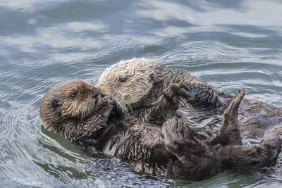 https://imgc.allpostersimages.com/img/posters/usa-california-san-luis-obispo-county-sea-otter-mother-and-pup-grooming_u-L-Q1D05BW0.jpg?p=0