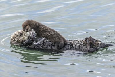 https://imgc.allpostersimages.com/img/posters/usa-california-san-luis-obispo-county-sea-otter-mother-and-pup_u-L-Q1D06ZK0.jpg?p=0