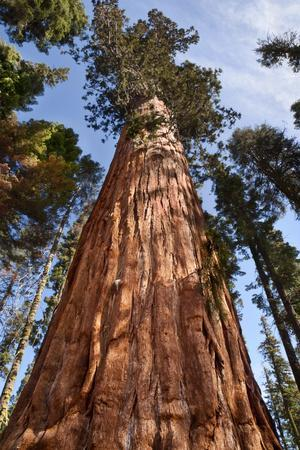 https://imgc.allpostersimages.com/img/posters/usa-california-sequoia-national-park-giant-sequoia-ascends-to-the-sky_u-L-Q12TAQH0.jpg?p=0
