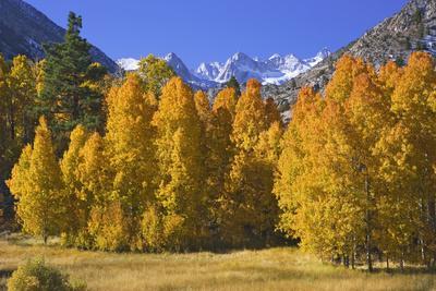 https://imgc.allpostersimages.com/img/posters/usa-california-sierra-nevada-mountains-aspens-in-autumn_u-L-Q1D0DP80.jpg?p=0